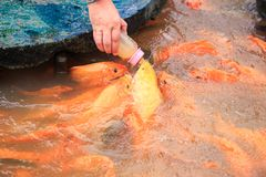 Alimentazione di pesci rossa dalla bottiglia sull'azienda agricola in parco turistico Fotografia Stock