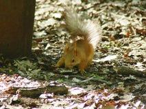 Alimentazione di ricerca dello scoiattolo rosso Immagine Stock