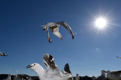 Alimentazione di Seasgulls Fotografia Stock
