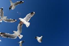 Alimentazione di Seasgulls Immagine Stock