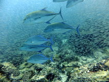 Alimentazione di Trevally del tonno rosso Fotografia Stock