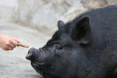Alimentazione di un maiale Fotografia Stock