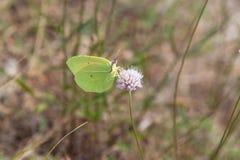 Alimentazione gialla della farfalla della cleopatra Immagini Stock