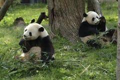 Alimentazione gigante dei panda Fotografie Stock