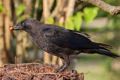 Alimentazione giovanile del corvo di Carrion sui fogli di autunno Fotografia Stock