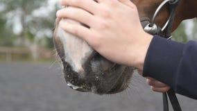 Alimentazione manuale maschio e museruola accarezzante di un cavallo Braccio del fronte di segno e di coccole dell'essere umano d stock footage