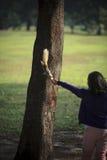 Alimentazione manuale umana un certo alimento per lo scoiattolo selvaggio in parco pubblico Fotografia Stock Libera da Diritti