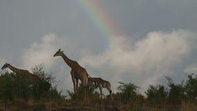 Alimentazione masai delle giraffe stock footage