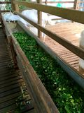 Alimentazione naturale organica fresca per la capra Immagine Stock