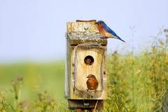 Alimentazione orientale degli uccellini azzurri Fotografia Stock