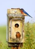 Alimentazione orientale degli uccellini azzurri Fotografie Stock Libere da Diritti