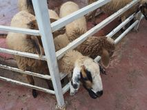 Alimentazione, pecora che mastica erba in azienda agricola fotografia stock libera da diritti