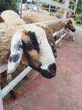 Alimentazione, pecora che mastica erba in azienda agricola fotografie stock libere da diritti