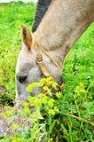 Alimentazione portoghese del cavallo Fotografie Stock Libere da Diritti
