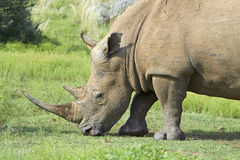 Alimentazione rhinocerous bianca Immagini Stock