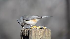 Alimentazione selvaggia degli uccelli stock footage