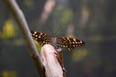 Alimentazione tropicale della farfalla Azienda agricola della farfalla e di Bai Orchid Mae Rim Chiang Mai Province thailand immagine stock