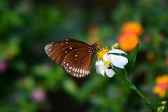 Alimentazione tropicale della farfalla Azienda agricola della farfalla e di Bai Orchid Mae Rim Chiang Mai Province thailand fotografie stock libere da diritti