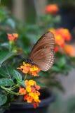Alimentazione tropicale della farfalla Azienda agricola della farfalla e di Bai Orchid Mae Rim Chiang Mai Province thailand immagini stock