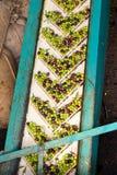 Alimentazione verde oliva del nastro trasportatore del laminatoio Immagine Stock Libera da Diritti