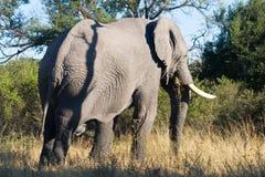 Alimentazioni dell'elefante su erba Immagine Stock