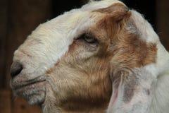 Alimente las cabras en la jaula, versión 6 fotografía de archivo