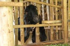 Alimente las cabras en la jaula, versión 7 foto de archivo