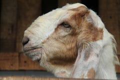 Alimente las cabras en la jaula, versión 8 foto de archivo