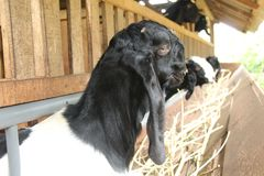 Alimente las cabras en la jaula, versión 13 imagen de archivo