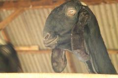 Alimente las cabras en la jaula, versión 16 fotos de archivo
