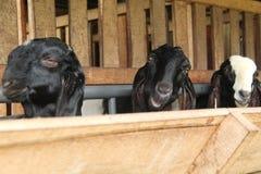 Alimente las cabras en la jaula, versión 21 imagen de archivo libre de regalías