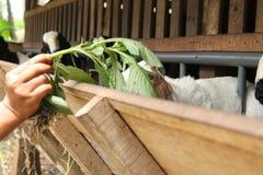 Alimente las cabras en la jaula, versión 23 imagenes de archivo