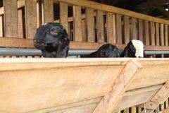 Alimente las cabras en la jaula, versión 24 imagen de archivo libre de regalías