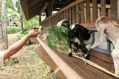 Alimente las cabras en la jaula, versión 26 foto de archivo