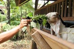 Alimente las cabras en la jaula, versión 28 imagenes de archivo