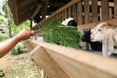 Alimente las cabras en la jaula, versión 30 foto de archivo libre de regalías