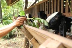 Alimente las cabras en la jaula, versión 32 Imágenes de archivo libres de regalías