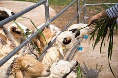 Alimente las ovejas imagen de archivo
