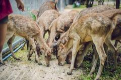 Alimente los ciervos, en el parque zoológico foto de archivo libre de regalías