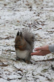 Alimente o esquilo Imagem de Stock