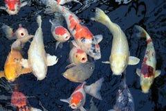 Alimente o Koi Imagem de Stock
