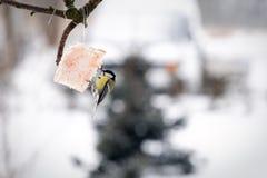 Alimenter d'oiseau de mésange Images stock