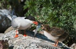 Alimenter d'un oiseau de chéri. Photographie stock libre de droits