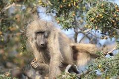 Alimenter de babouin de Chacma Photographie stock