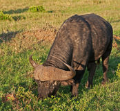 Alimenter de Buffalo de cap Images libres de droits