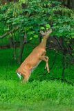 Alimenter de cerfs communs image libre de droits
