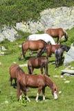 Alimenter de chevaux sauvages Photographie stock libre de droits