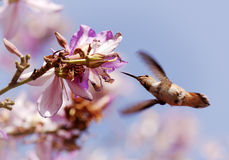 Alimenter de colibri Photos stock