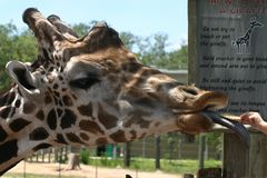 Alimenter de giraffe Images libres de droits