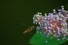 Alimenter de Hoverfly Images stock